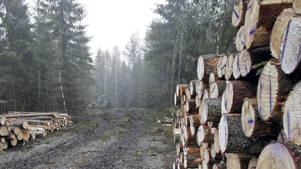 Mellom Voldsvegen på Geiteryggen og mot Hvitsteintjenn foregår det skogshogst. Foto. Jan Bjørn Taranrød