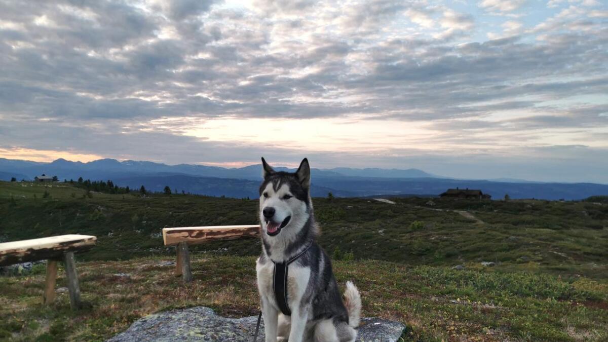 Malamuten «Nanook» har vore borte sidan han stakk av frå ein fjelltur på Veståsen i Ål sist tysdag.