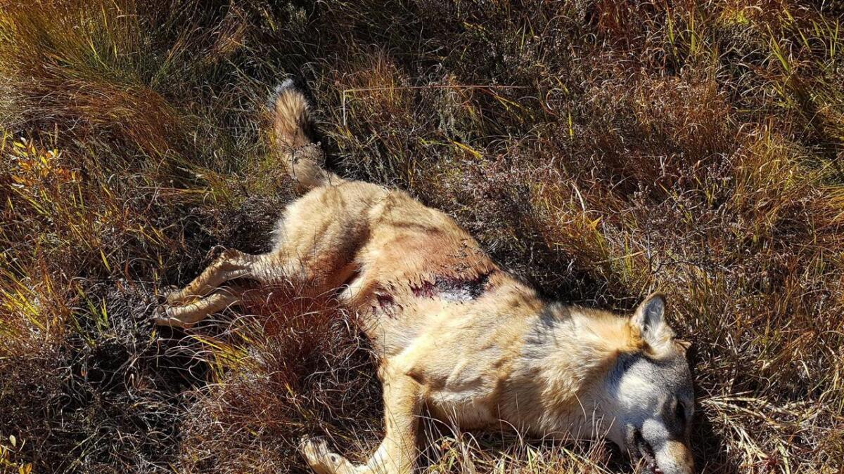 Ulven ble skutt ved Oland og er ei stor tispe.