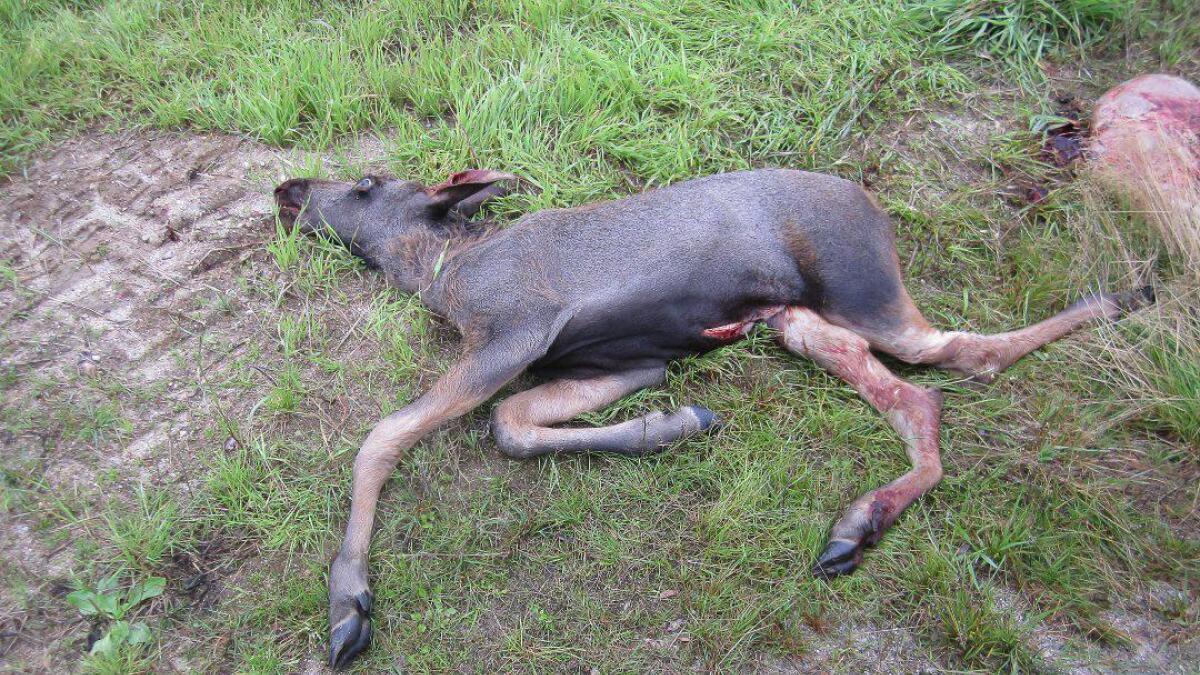 Elgkalven hadde fått knust bakbeina i påkjørselen da den ble funnet. Her er den avlivet.