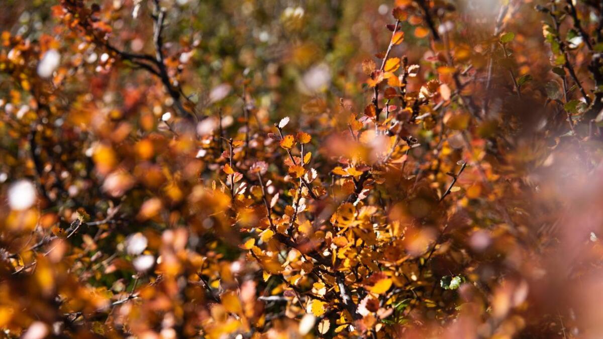 Hausten har farga fjellet gult og oransje.