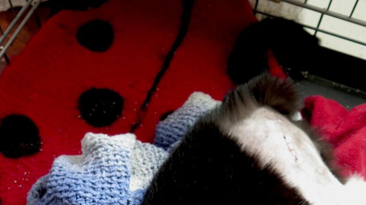 Katten Yatzy er snart i full vigør igjen etter å ha blitt operert for lårhalsbrudd. Kronerulling i sosiale medier betalte operasjonen for den tidligere gatekatten som nå er hos Dyrenes Hjelper i Arendal.