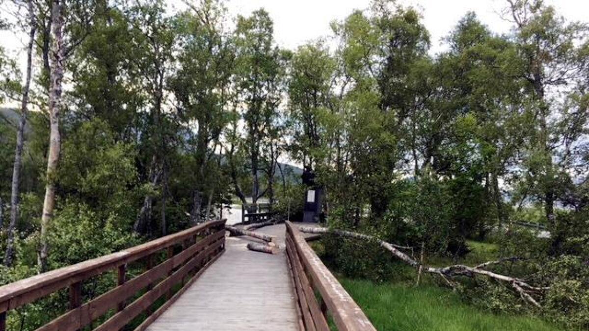 De fire trærne inngikk i en allé som omslutter minnesmerket over de omkomne i Kvitbjørnulykka.