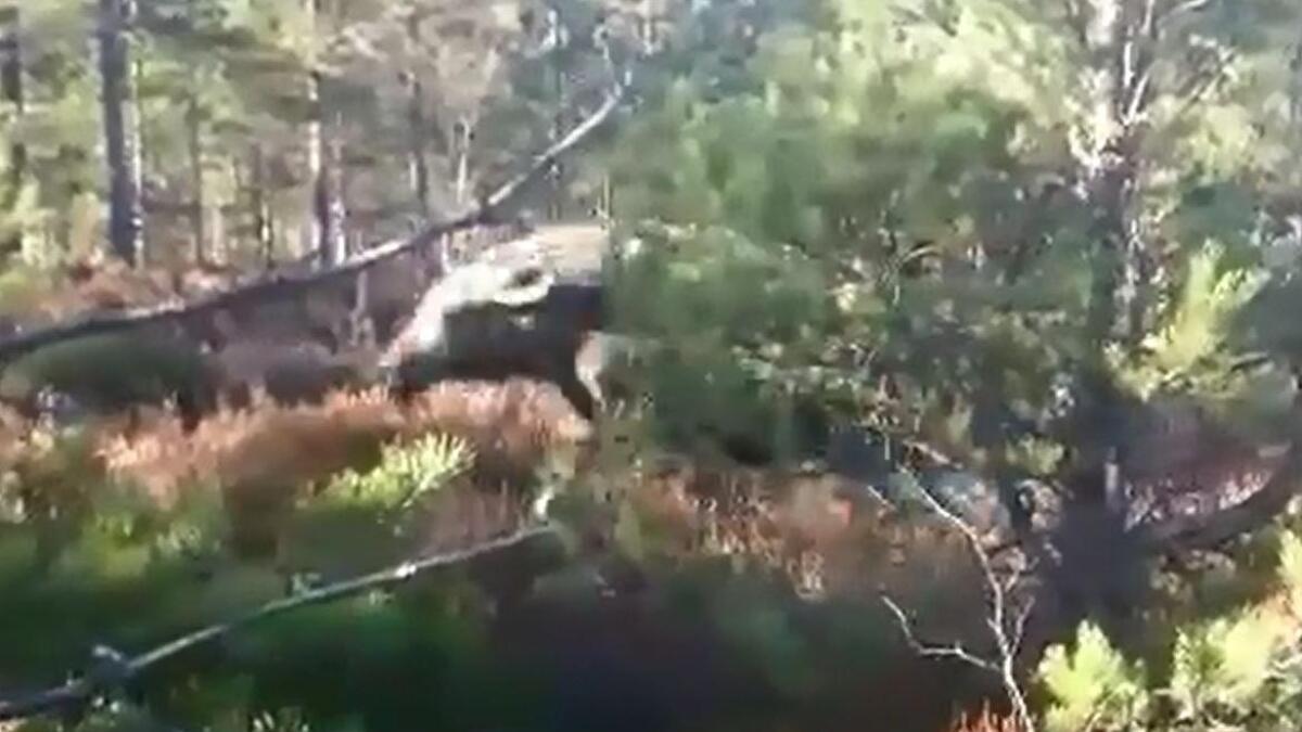 Først jager elgen hunden i Skjeggedal i Åmli. Så ramler den nesten over jegeren.