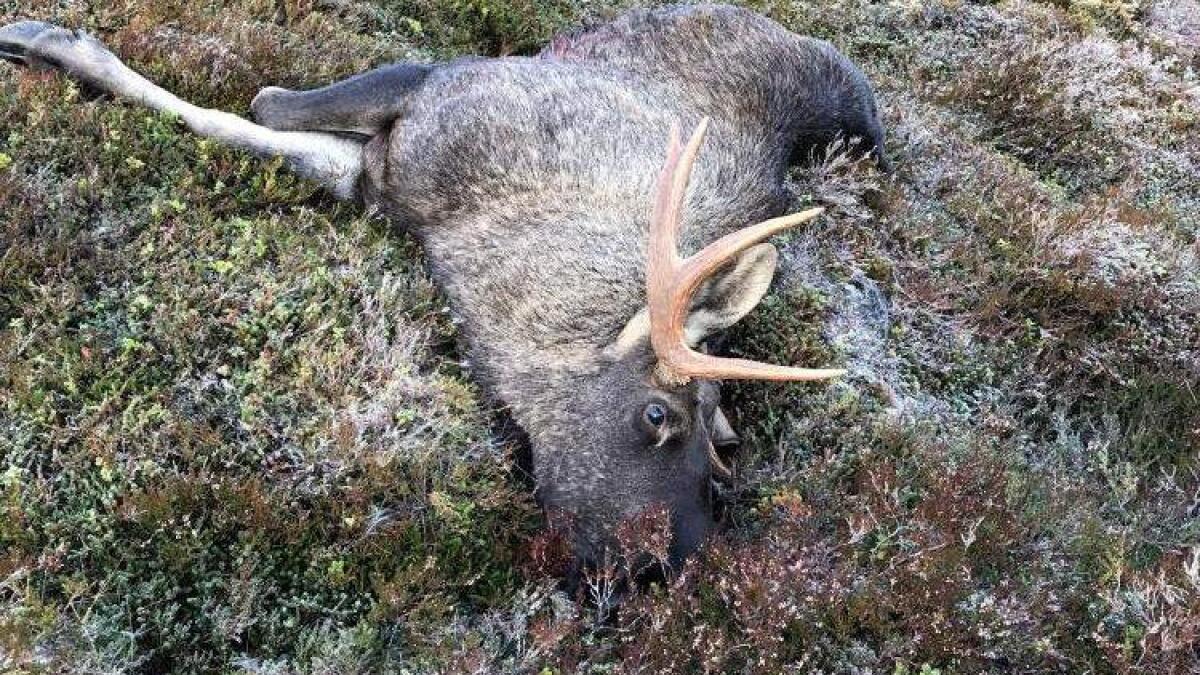 Jaktlaget som tok denne elgen oppdaget at den allerede var såret.