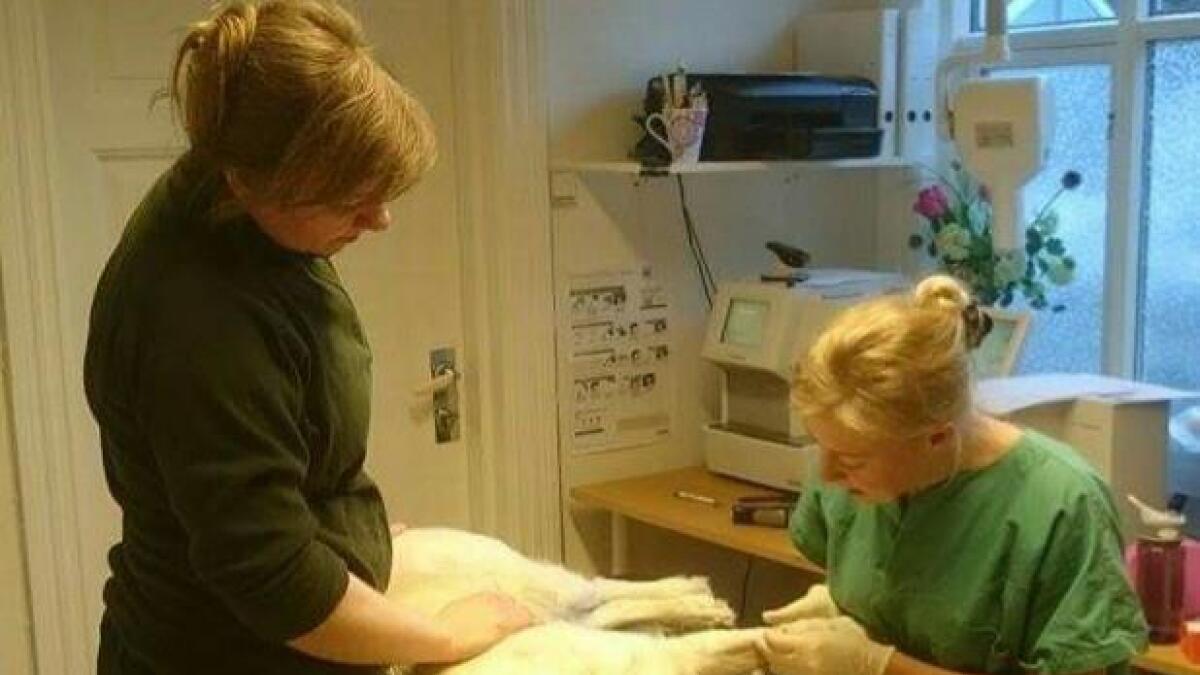 Denne hunden kom inn på klinikken etter å ha revet av seg klokapselen. Da ordnet veterinær Camilla Lilleholt opp. Det hender også hun må hjelpe hundeeiere med å klippe klør.