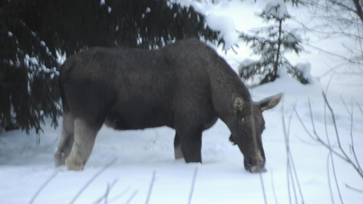 Rauland jaktlag ser det som aktuelt å utsetje elgjakta på grunn av mykje turistar. Nå har laget fått snøskuterløyve i tre jakthaustar.