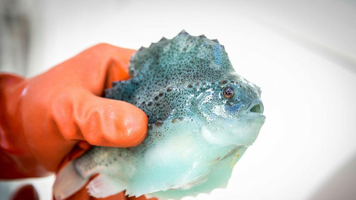 En fisk som fiskes først og fremst for rogna.