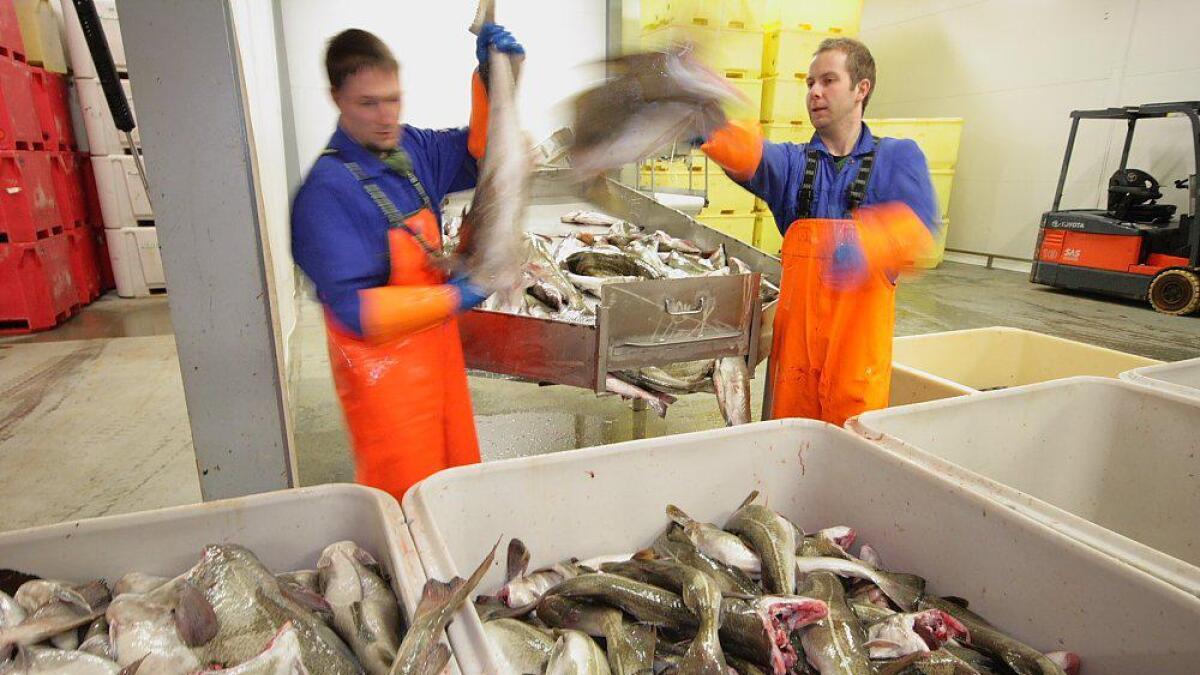 Kveldens første leveranse er i hus. Magnus Johansen og Hans-Eirik Olsen behandler skreien på Andenes fiskemottak.