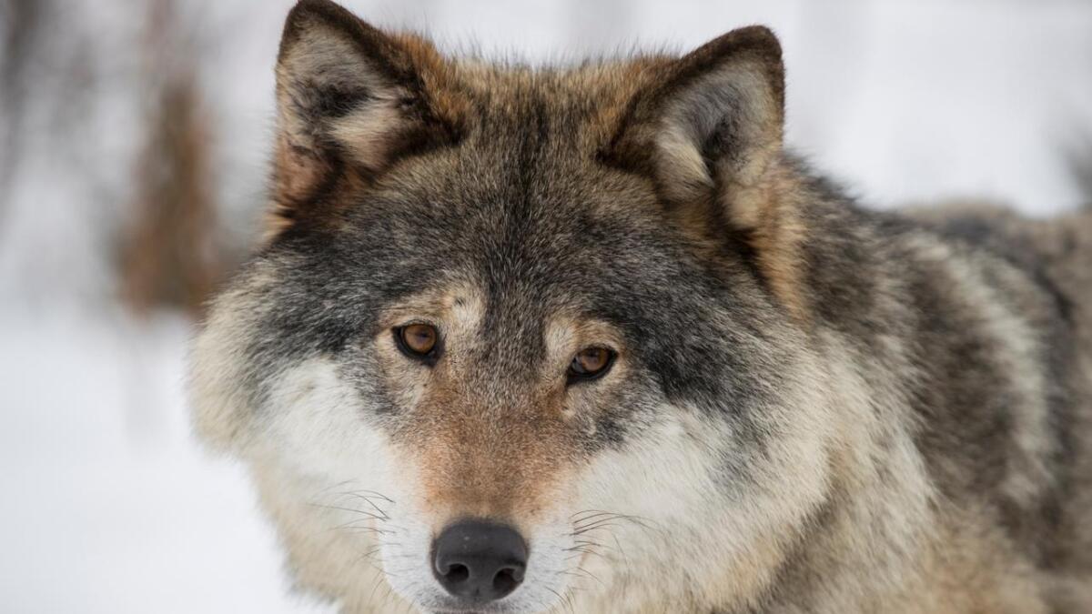 Ulvebestanden har hatt en nedgang på 10 prosent fra toppåret 2018.