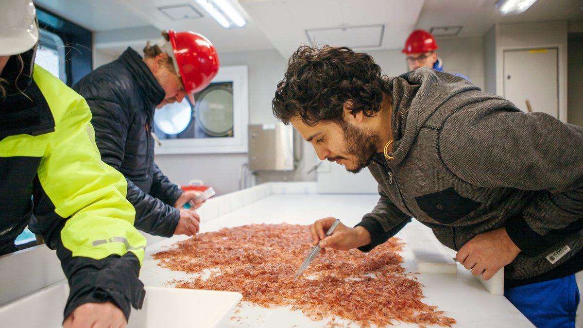 Om bord på forskingsfartøyet sorterer forskerne krill og fisk hver for seg, etter hvert hal, og krillen måles og veies.