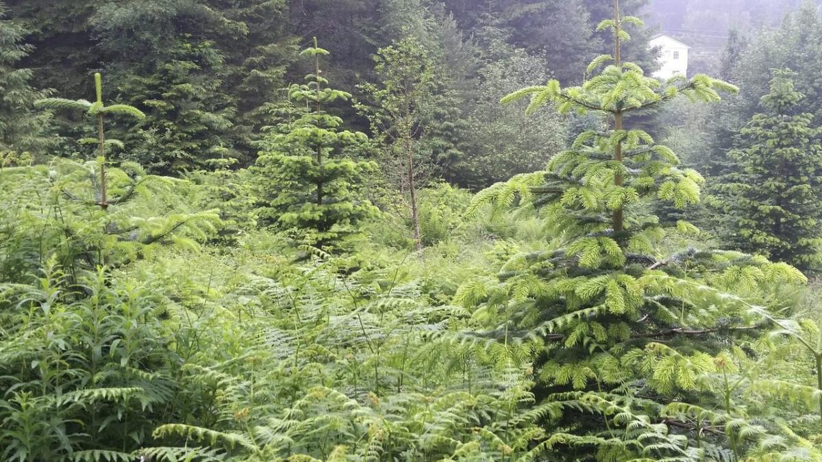 Berekraftig forvaltning av skog betyr å ta omsyn til skogen sine økologiske, økonomiske, sosiale og kulturelle verdiar, skriv Johannes Landmark.
