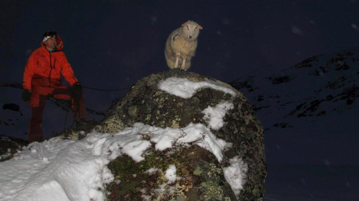 Her er sauen lokalisert og i ferd med å bli fanget.