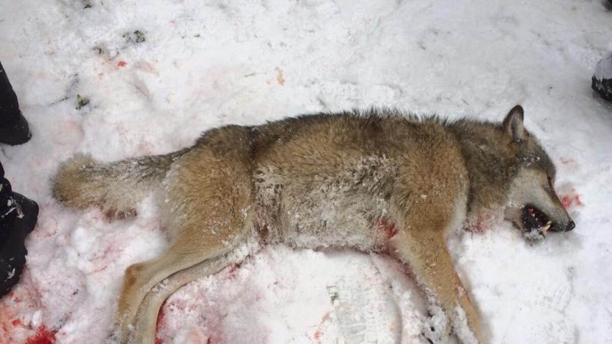Ulven ble skutt på Håråsen, mellom Skreosen og Tokke.