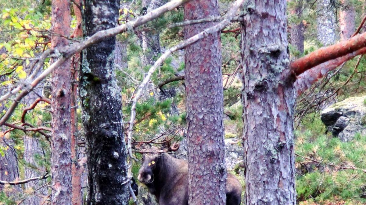 Plutselig satt øynene som spikret på en diger elgstut som sto og betraktet oss          med majestetisk ro bare 15 meter borte.