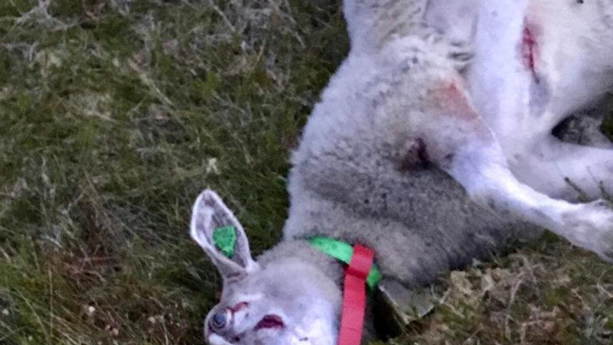 Denne sauen var så ille tilredt at den måtte avlives på stedet. Hunden som skambeit sauen ble fanget inn etter en time på rømmen.