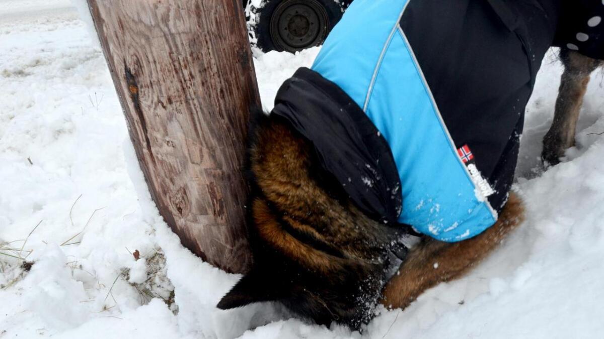 Ein levande hundenase kontrollerer «helsetilstanden» opp til 100 stolpar om dagen.
