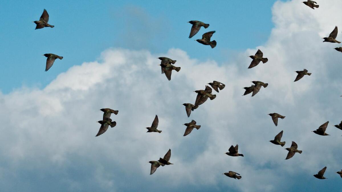 Trekkfuglene blir beskyldt for å trekke med seg flåttinfeksjoner på sin flygende ferd. Her en flokk stær.