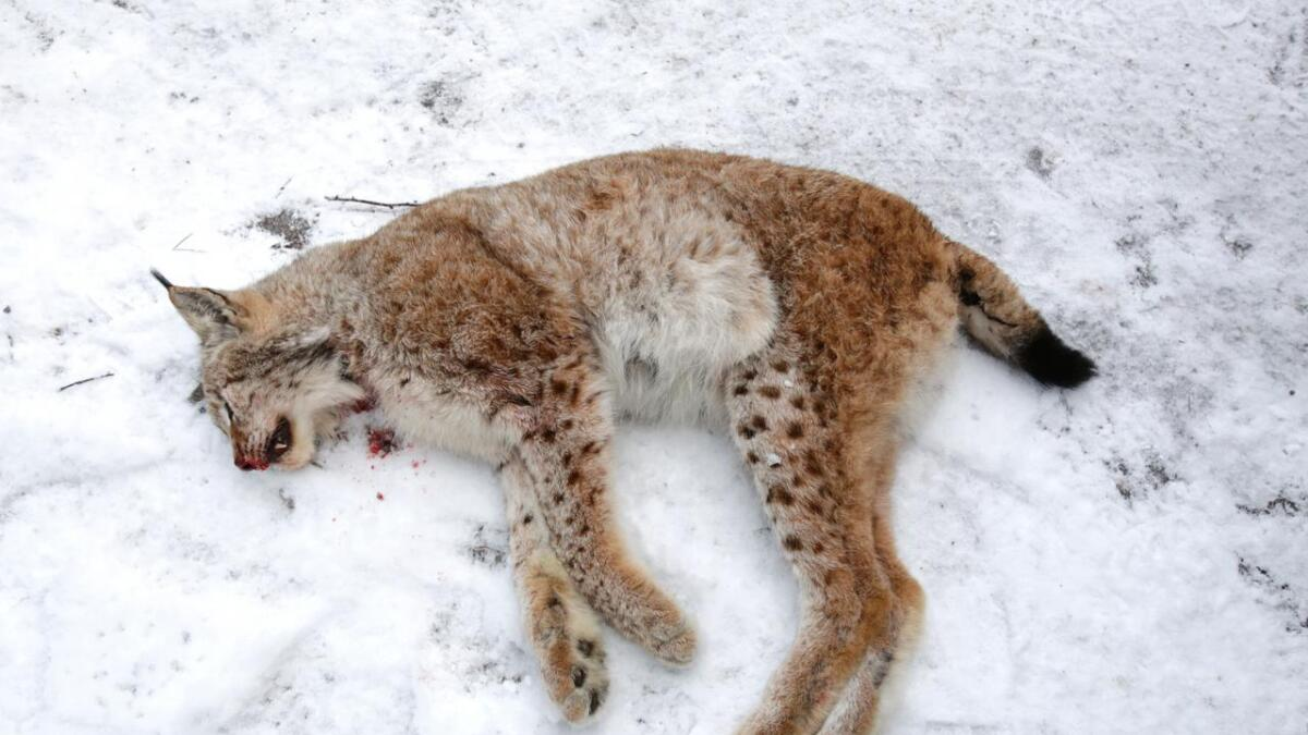 Denne gaupa ble felt på en av jaktas første dager i begynnelsen av februar.