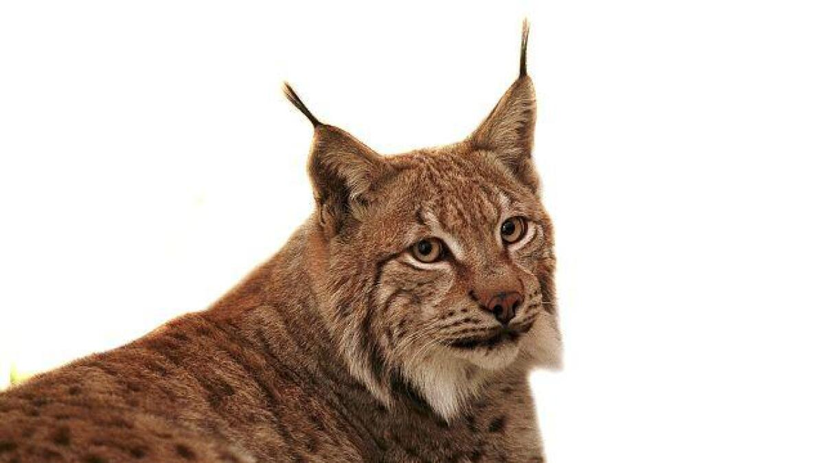 Rovdata ønsker at alle ute i naturen melder fra om de ser spor av gaupe eller andre rovdyr ved skisporet.