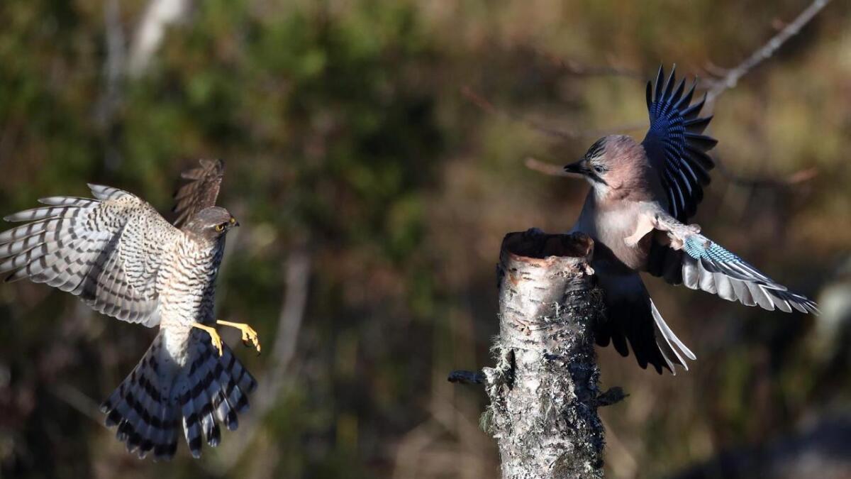 Så langt har ikkje Kristin Devor sett Spurvehauk-hannen klare å fange ei nøtteskrike, men i dette tilfelle var det nære på.