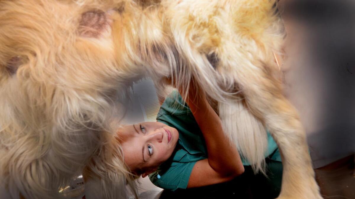 Superteddy har gjennomgått tre kreftoperasjoner. Her undersøkes han av dyrlege Camilla Lilleholt.