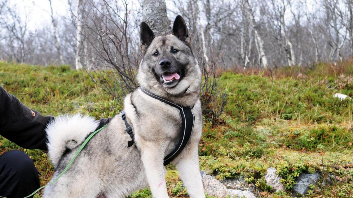Taro er en flott representant for rasen norsk elghund grå.