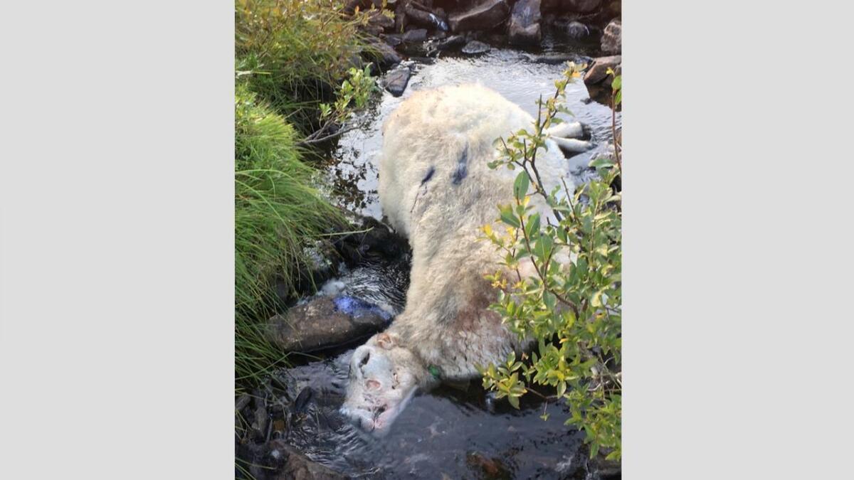 Den andre sauen som ble funnet, lå i en bekk.