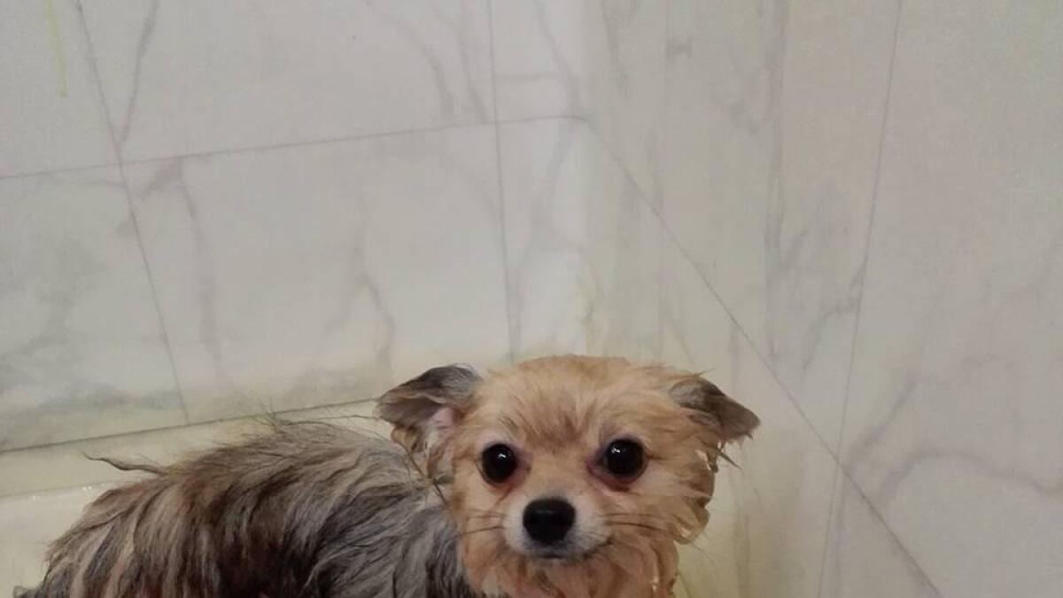 Å bade en hund kan være en utfordring. Her er det Melissa som har fått seg et bad. Hun er en ett år gammel pomeranian.