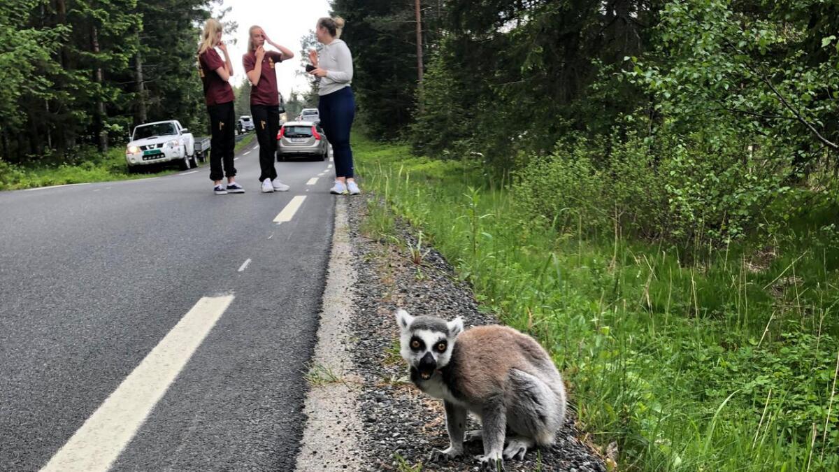 Her er lemuren Lichi funnet i Gytinggrenda i Gjerstad tirsdag ettermiddag. I bakgrunnen ses Emma Flaten Rugnes, Henriette Lauve og jenta som oppdaget lemuren i veikanten.
