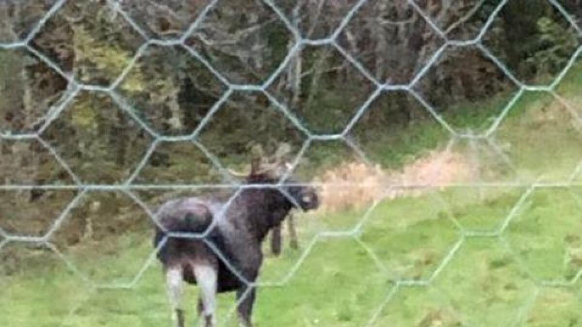 Denne elgen vart observert på Skjørsand i Fusa klokka 19.18 laurdag kveld.
