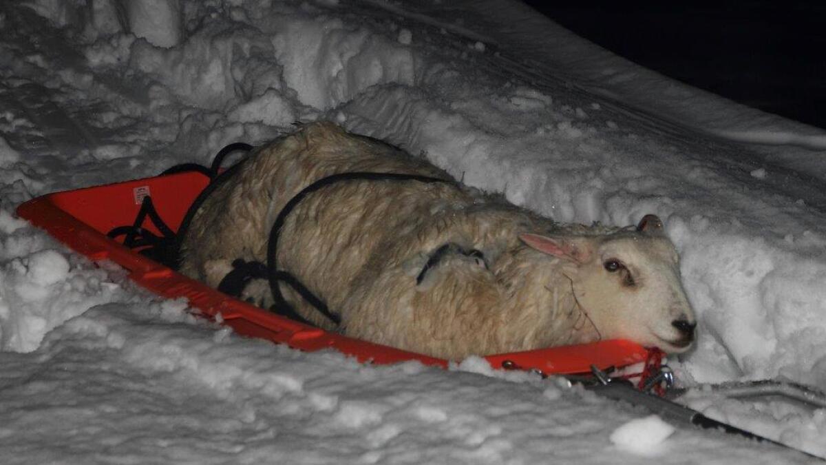 Sauen ble fraktet ned fra fjellet tjoret fast til en pulk.