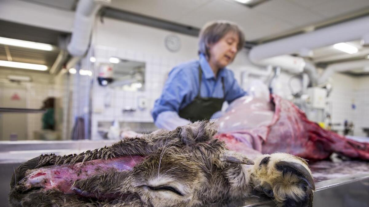 Veterinærinstituttet har testa 90.000 hjortedyr for skrantesjuke sidan 2016.