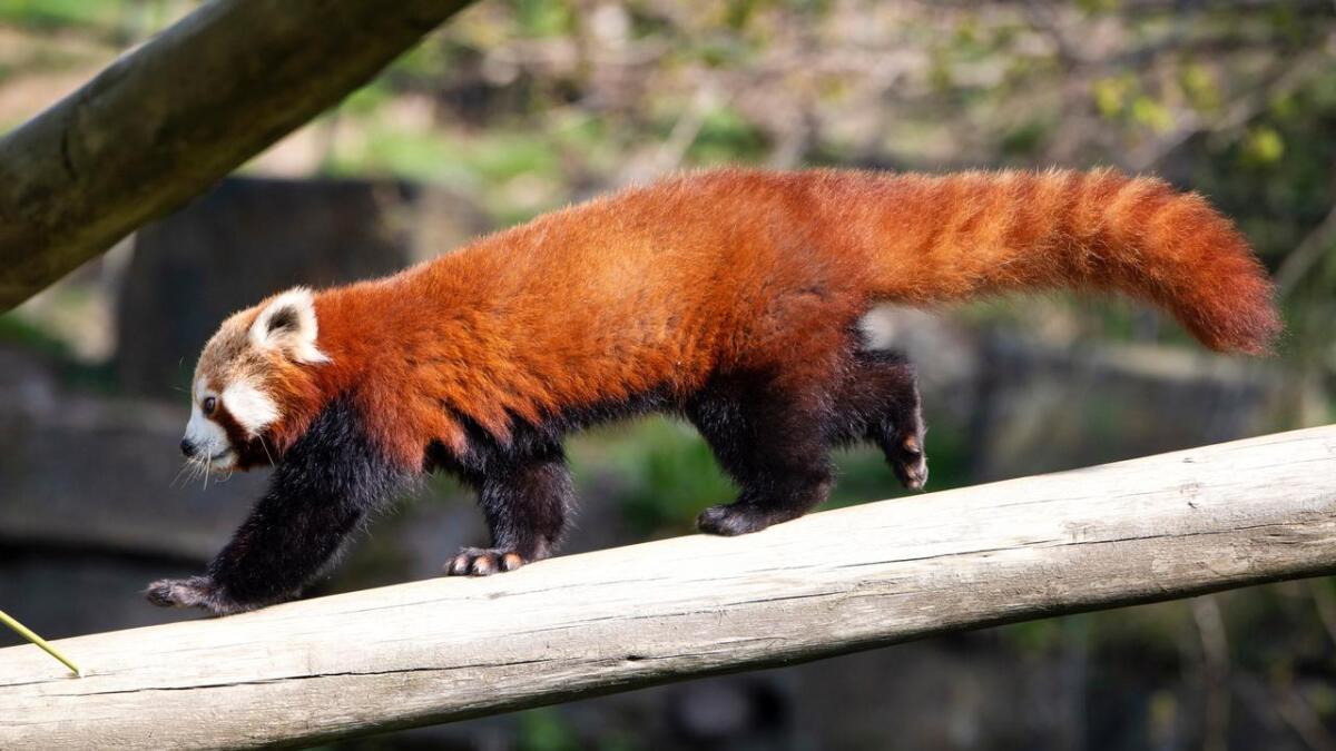 Her er den nye rødpandaen i Dyreparken. Hun heter Luna.