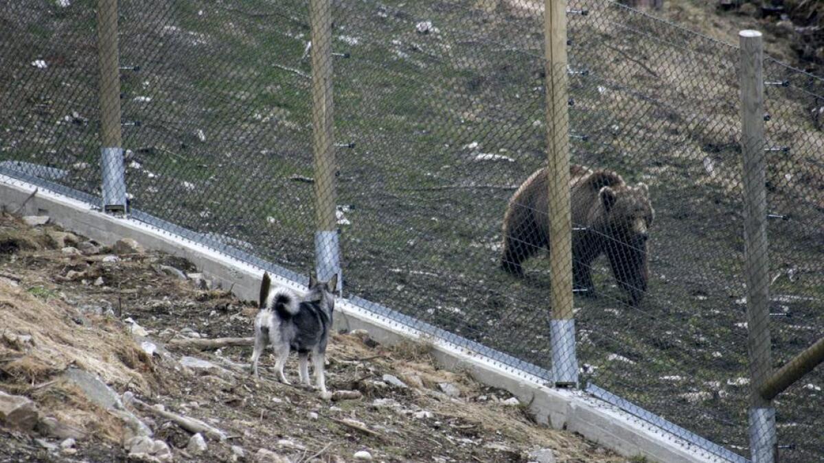At Bjørneparken brukar dyr i fangenskap til å teste jaktinstinkt hjå jakthundar, vekkjer reaksjonar.