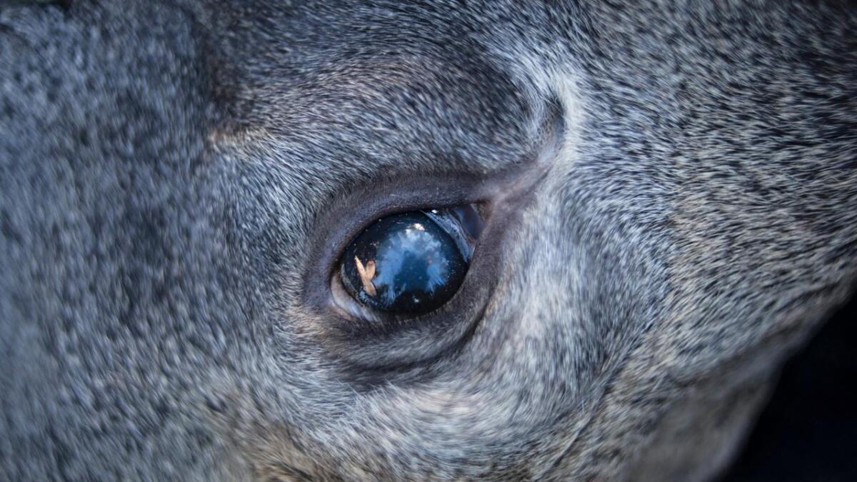 Ein elg i Sigdal har fått påvist atypisk skrantesjuke.