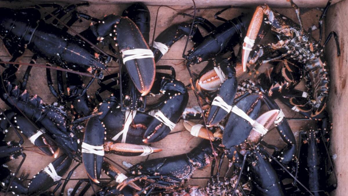 Fiskarar har merka den rekordlåge bestanden av hummar. No må kundane ut med 899 kroner per kilo.