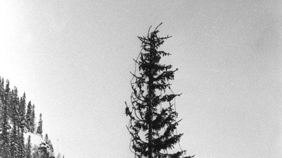 Julegrana anno 1987, vindfall eller skogsdød?
