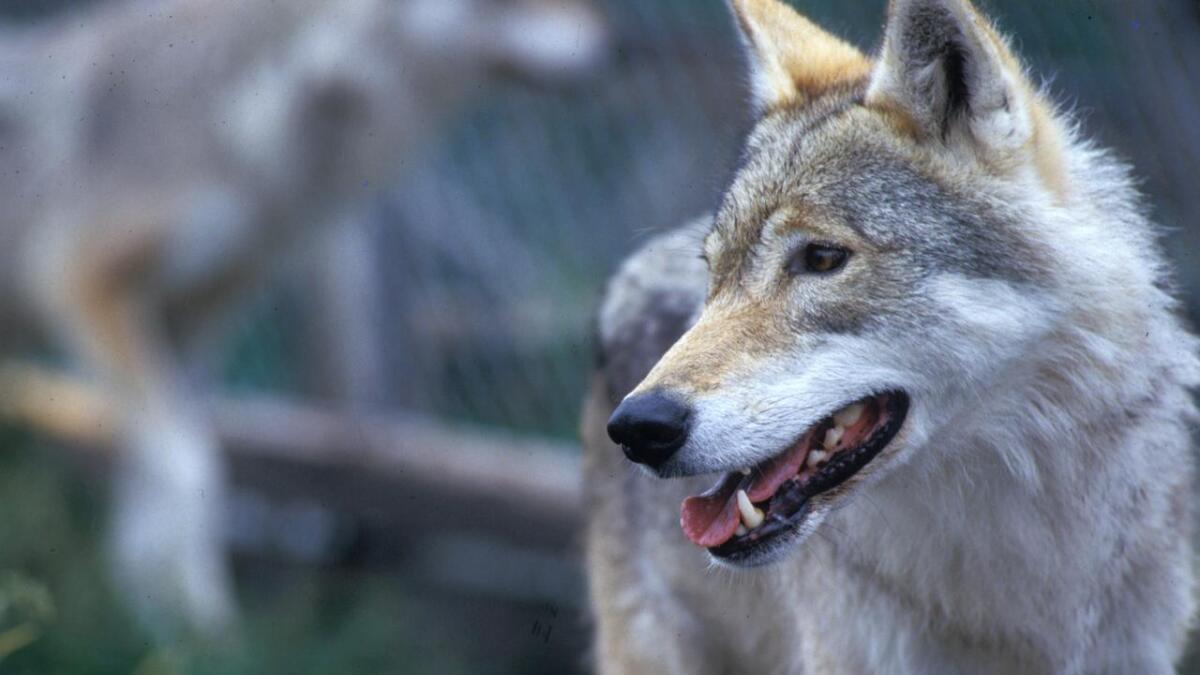 Totalt seks sauer har blitt drept eller skadd av ulv i Vest-Telemark den siste tiden. Nå har jegerne fått tillatelse til å felle ulven.