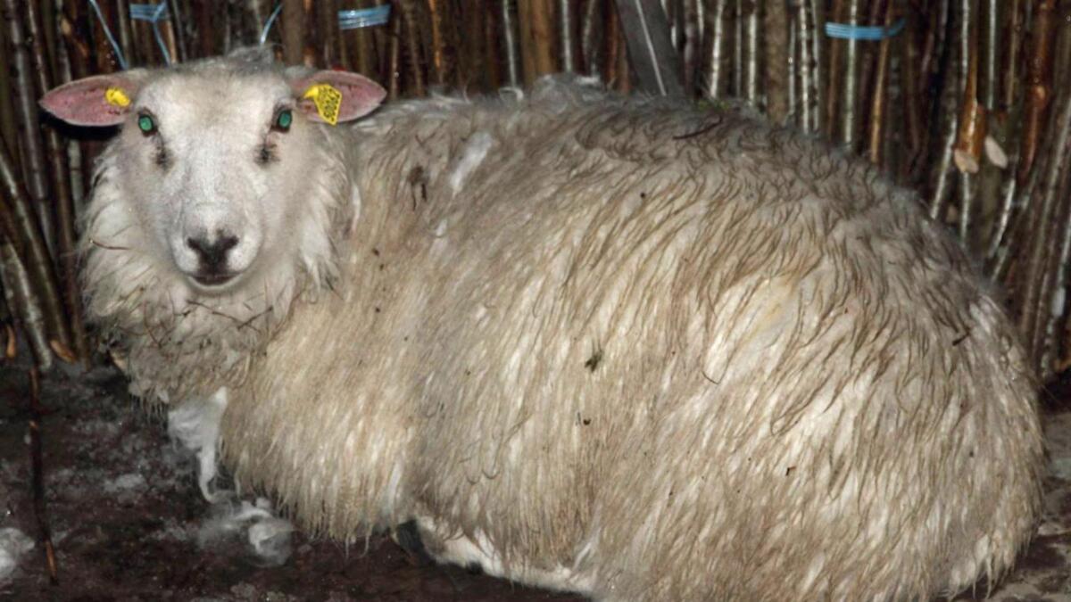 Den bortkomne sauen var i overraskende grei form til å ha vært ute siden sommeren. Hos Hakueliseter fjellstue fikk den komme inn i varmen og ble servert julemiddag.