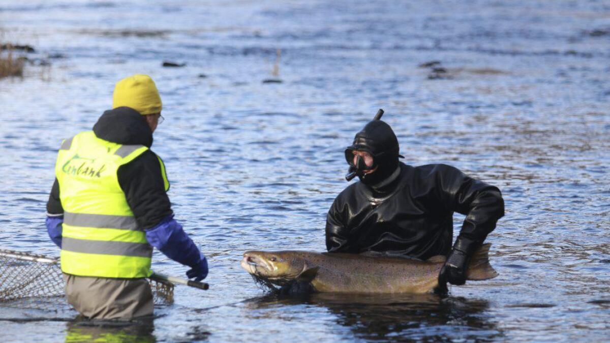 Biletet er frå stamfiske i Granvin i haust, utført av Svein Helge Pedersen og Tore Wiers. Resultatet av dette fisket førte til eitt par å leggja i genbanken, ikkje seks, som ein håpa på.