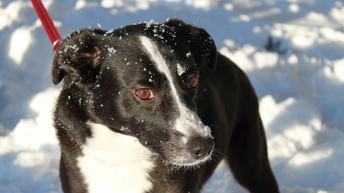 Dyrlegene ved Agder dyreklinikk oppdaget at Pibben (14) hadde brystkreft under en brystkreft-aksjon i 2013. Den fikk fjernet to av brystkjertlene året etter, og er nå en frisk og rask hund.