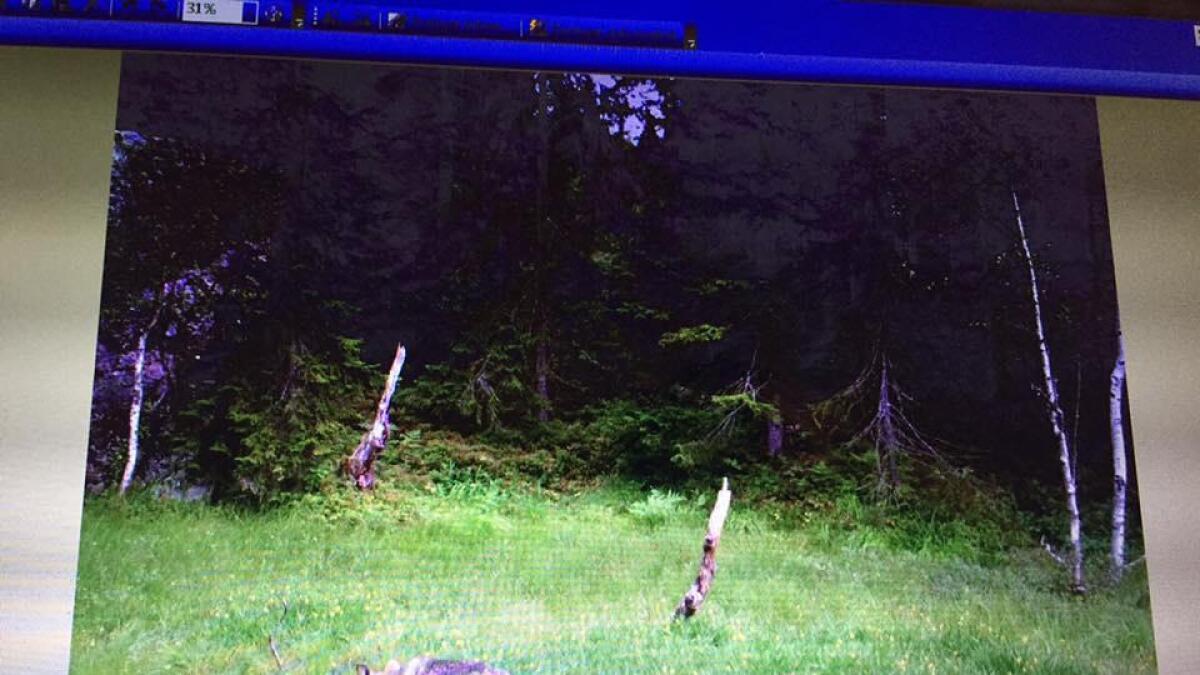 Denne ulven ble fanget på et viltkamera på Skjeggedal i Åmli kun få dager før ti sauer ble funnet drept i samme området. Jegere mener denne streifer mellom Tovdal i Åmli og Bygland.