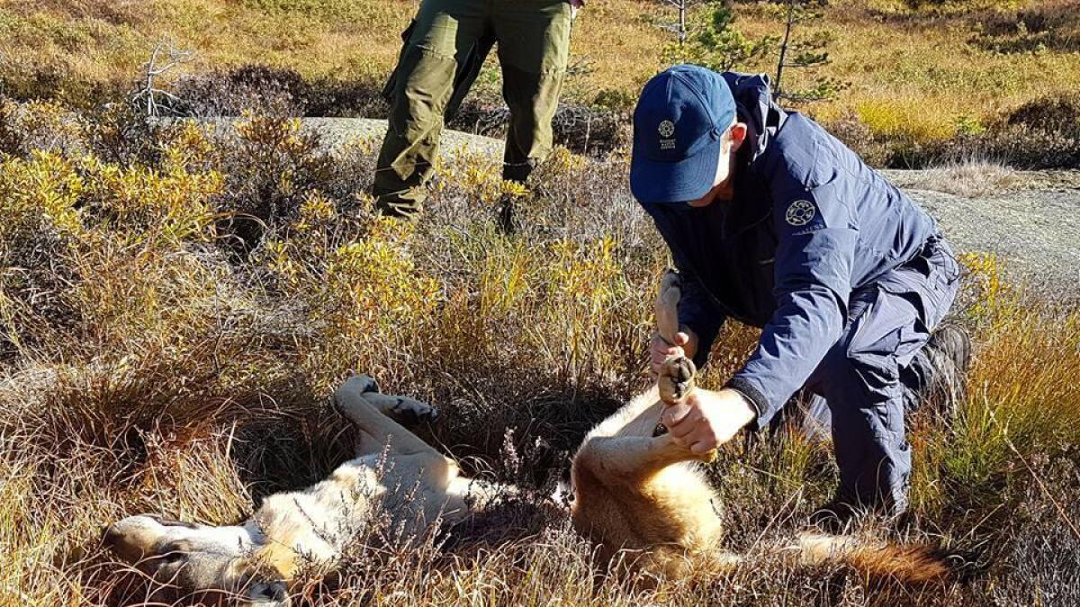 Her undersøker rovviltkontakt Lars Johan Skjeggedal i Statens naturoppsyn den døde ulvetispa.