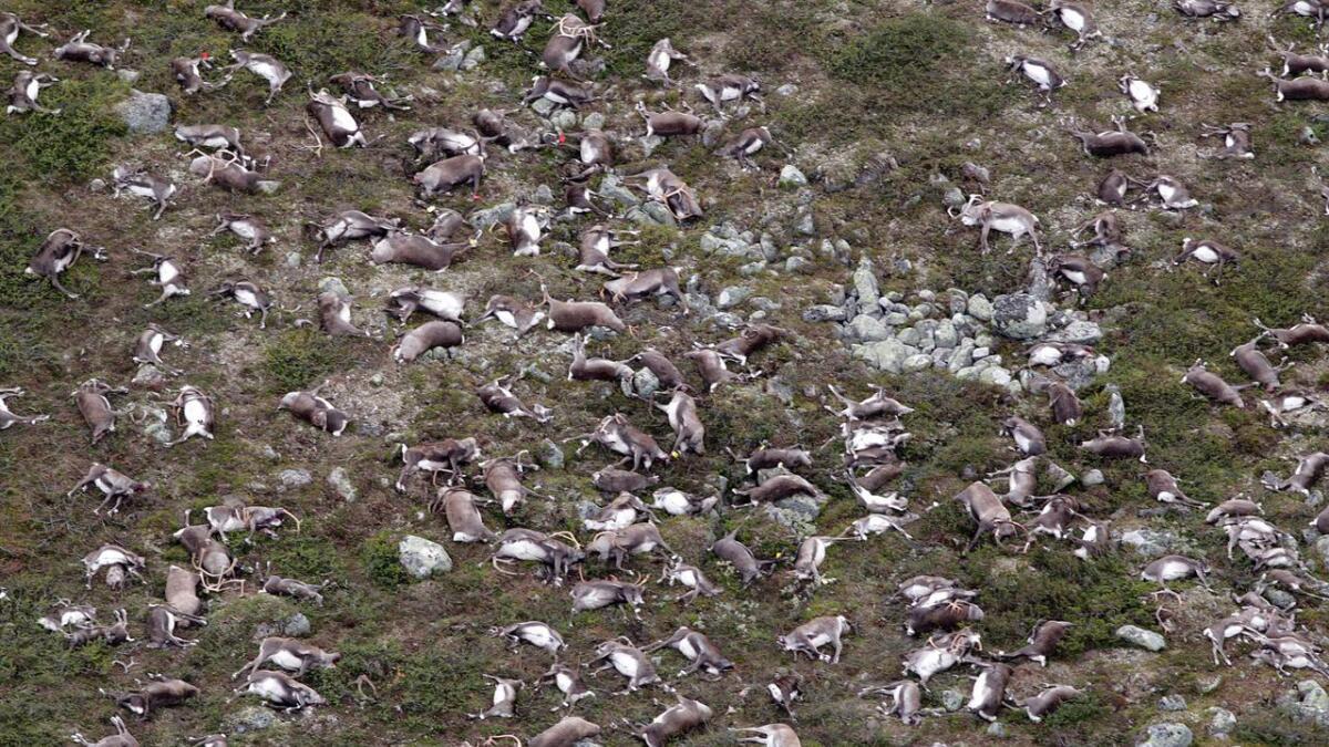 Senter av flokken er 80 meter fra lynnedslaget og de fleste dyrene har dødd momentant.