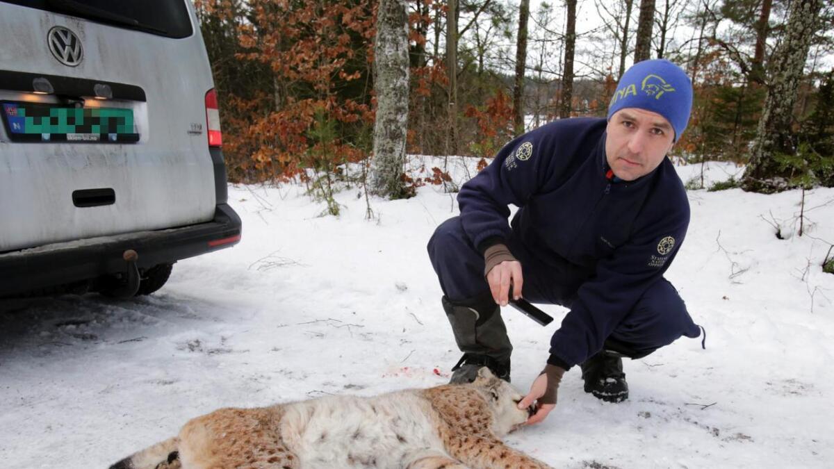 Espen Marker i SNO var i Kilebygda og kontrollerte den voksne hanngaupa som ble felt nær Kilevannet ved Rennesund. Dagen før ble en annen hanngaupe felt i Landsmarka i Nome. Det vil si at to hanngauper er felt med en avstand på en til to mil.