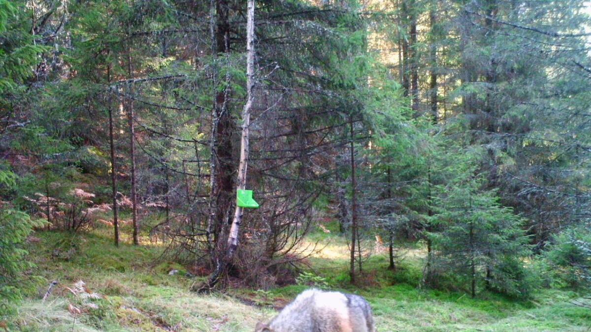 Det kan være denne ulven, fotografert på viltkamera på grensen mellom Aust-Agder og Telemark som er skutt